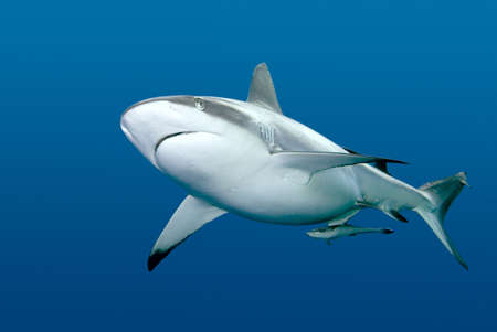 a grey reef, or whaler shark, swimming along underwater. These sharks can become very aggressive. There is a remora, or slender suckerfish, swimming along with the shark. Stock Photo
