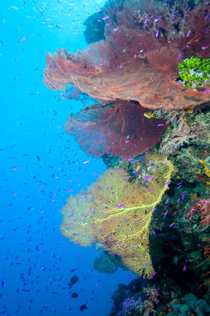 gorgonian: an underwater reefscape with sea fans, fish and blue water