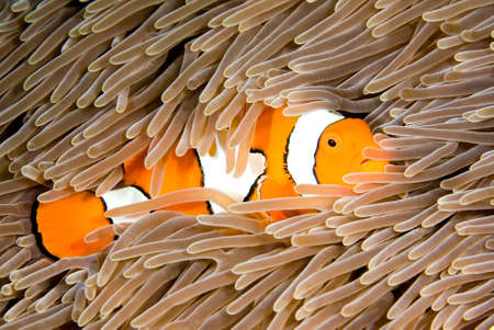 a clown anemonefish takes shelter among the tentacles of its anemone, underwater