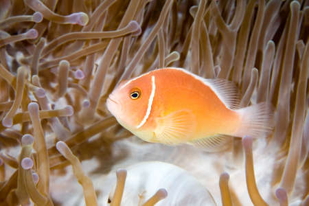 a pink anemonefish living in the tentacles of its host anemone