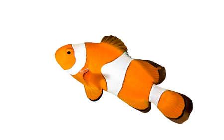 pez payaso: clownfish aislados en blanco