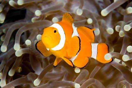 pez payaso: un clown anemonefish nataci�n en los tent�culos de su an�mona de acogida, bajo el agua.