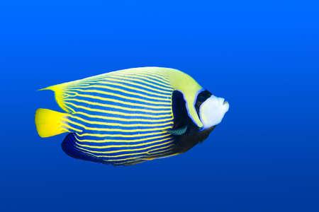 pomacanthus imperator: Una bella imperatore angelfish nuoto in blu acqua