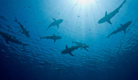 a school of ten sharks swimming in shallow water, silhouetted against sunbeams shining through the water.