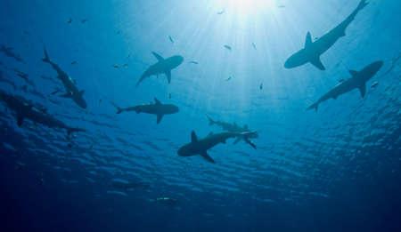 une école de natation dix requins dans les eaux, silhouetted contre les rayons du soleil brille à travers l'eau.  Banque d'images