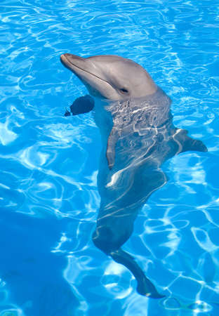 aquaria: Bottlenose Dolphin posing with its head above water