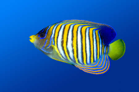 a colorful tropical regal angelfish on a blue water background photo
