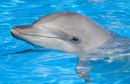 aquaria: A happy Bottlenose Dolphin posing with its head above water
