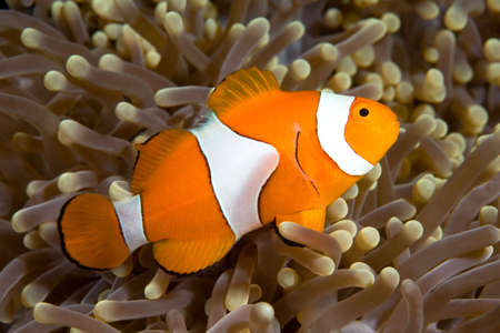 amphiprion ocellaris: A clown anemonefish swimming in the tentacles of its anemone, underwater Stock Photo