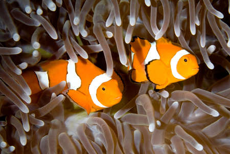 false percula clownfish: two clown anemonefish swimming in the tentacles of their anemone, underwater Stock Photo