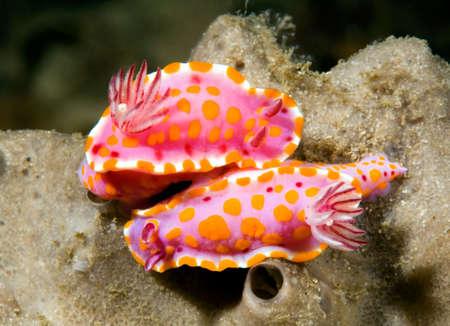 a pair of mating nudibranchs, or sea slugs, underwater