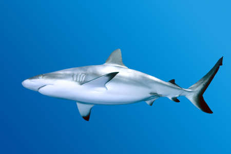 Grey Reef Shark swimming in blue water