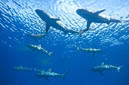 school of fish: a school of nine reef sharks swimming together underwater Stock Photo