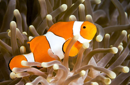 clown fish amphiprion: a clown anemonefish swimming in its anemone, underwater