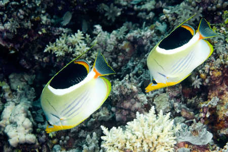 a pair of Saddled Butterflyfish, swimming along the reef, underwater