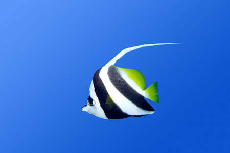 bannerfish: a long finned bannerfish swimming underwater with a plain blue background