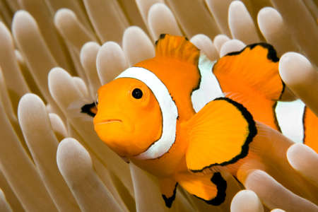 clown fish amphiprion: a clown anemonefish in the tentacles of its anemone, underwater.