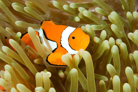 symbiosis: a clown anemonefish swimming in its anemone, underwater