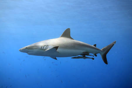 a grey reef, or whaler shark swimming in shallow water with sunbeams and some small fish in the background. Two suckerfish are attached to the sharks belly Stock Photo
