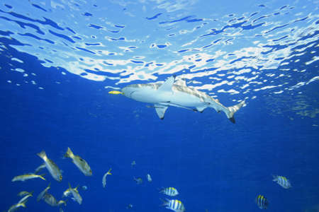 A Blacktip Reef Shark swimming in shallow water with a yellow pilot fish and two slender suckerfish, or remoras, on its belly