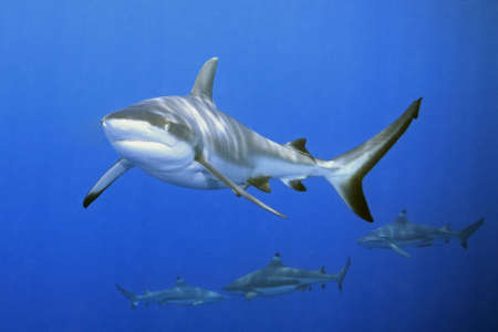 a large grey reef shark showing the mouth and teeth.