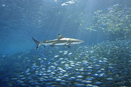 a huge school of fish fleeing from a hunting blacktip reef shark. There are sunbeams shining through the water and a second shark in the background. The foreground shark has a slender suckerfish, or remora attached. Stock Photo