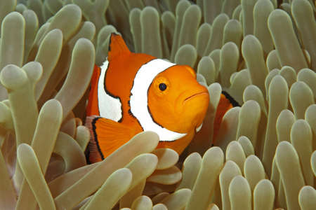 amphiprion ocellaris: A Clown Anemonefish swimming among the tentacles of its sea anemone