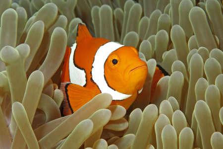 pez payaso: Un nataci�n de payaso entre los tent�culos de la an�mona de mar