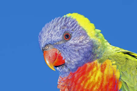 a closeup of a beautiful Rainbow Lorikeet, Trichoglossus haematodus, with a blue sky background photo