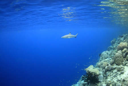 a blacktip reef shark swimming in shallow water at the edge of a coral reef. The surface of the ocean can be seen with reflections of the shark and the reef photo