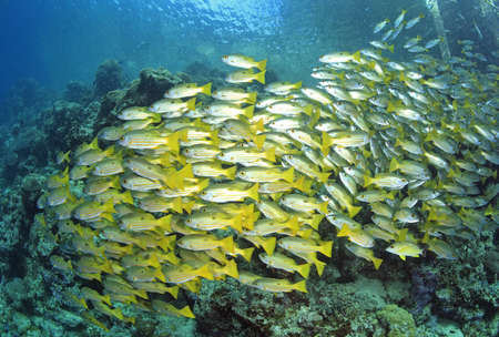 A large school of black-spot snapper swimming above the reef photo