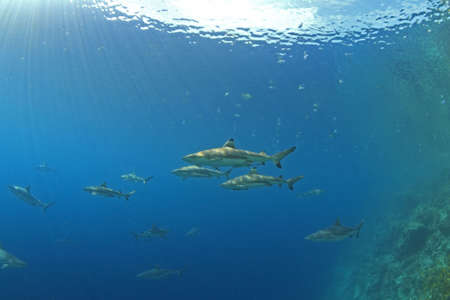 a pack of sharks hunting along the reef edge with sunbeams shining through the water Stock Photo