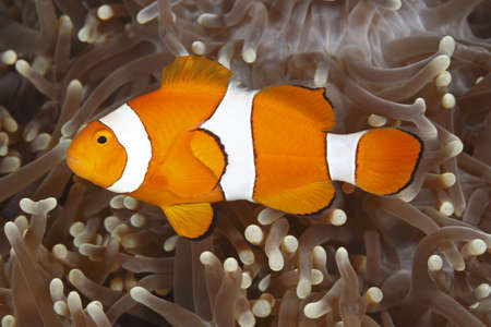 a clown anemonefish swimming in the tentacles of its sea anemone Stock Photo