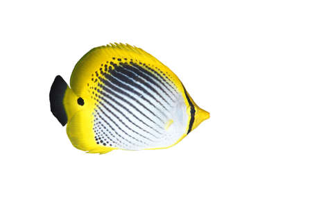 a tropical striped butterflyfish isolated on white background Stock Photo