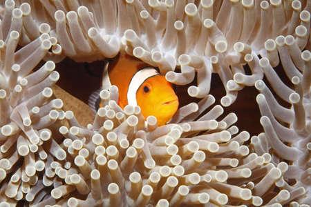 pez payaso: Un payaso refugio entre los tent�culos de la an�mona de mar