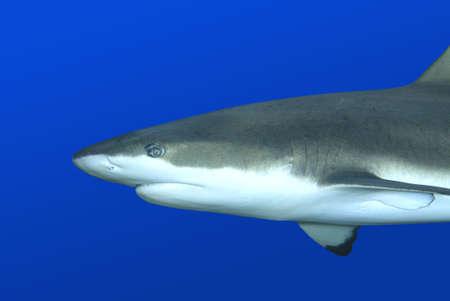 a closeup blacktip reef shark swimming against blue background photo