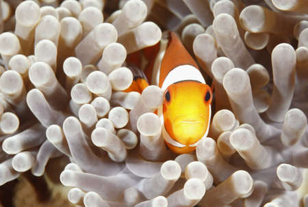 A Clown Anemonefish sheltering among the tentacles of its sea anemone Stock Photo - 8512098