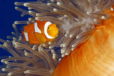 A clown anemonefish swiiming in its anemone. The anemone is partly closed showing the bright orange skin on the underside