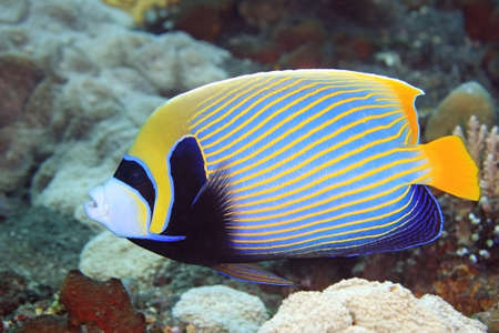 pomacanthus imperator: A Beautiful Emperor Angelfish swimming on the reef, underwater.