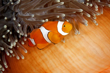 ocellaris: A clown anemonefish swimming in its sea anemone. The anemone is partly closed showing the bright orange skin on the underside