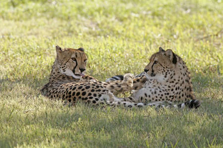 carnivores: Two cheetahs laying together, the male is licking his fur