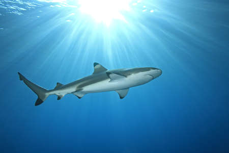 dangerous reef: a blacktip reef shark swimming in shallow water with sunbeams and a sunburst on the surface