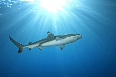 arrecife: un tibur�n nadar en aguas poco profundas con los rayos del sol y un sunburst en la superficie