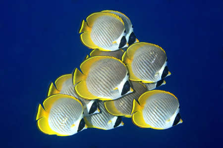a school of Eye-Patch, Panda, or Philippine butterflyfish, Chaetodon adiergastos, swimming against a deep blue water background. Tulamben, Bali, Indonesia photo