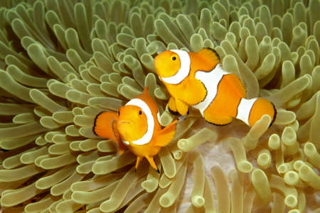 amphiprion ocellaris: Two Clown Anemonefish, Amphiprion percula, swimming in their sea anemone.