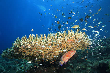 indo: A reefscene with fish and corals and a blue water background with copy space  There are divers bubbles in the background  Tulamben, Bali, Indonesia  Bali Sea, Indian Ocean
