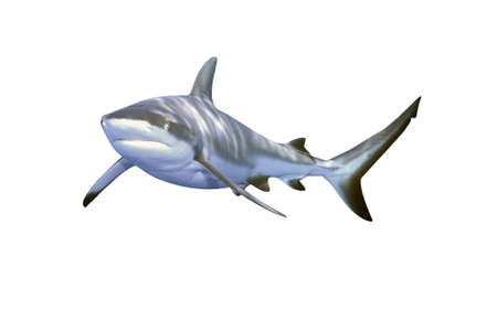 a large grey reef shark showing the mouth and teeth and isolated on white background Stock Photo