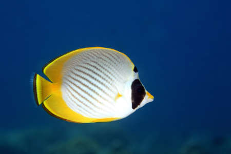 yellow butterfly: A Panda, or Philippine Butterflyfish, Chaetodon adiergastos, swimming underwater with a blue background. Tulamben, Bali, Indonesia. Bali Sea, Indian Ocean Stock Photo