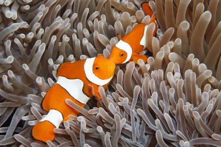 A pair of Clown Anemonefish, Amphiprion percula, in their Sea Anemone. Uepi, Solomon Islands. Solomon Sea, Pacific Ocean Stock Photo - 14853472