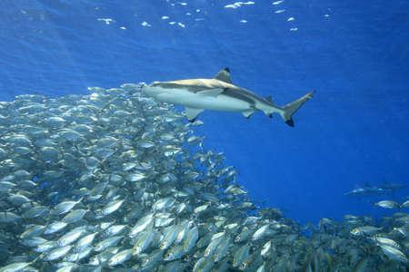 arrecife: Un tiburón de punta negra, Carcharhinus melanopterus, nadando por encima de un banco de peces con rayos oblicuos a través del fondo del agua azul. Uepi, Islas Salomón. Salomón Mar, Océano Pacífico